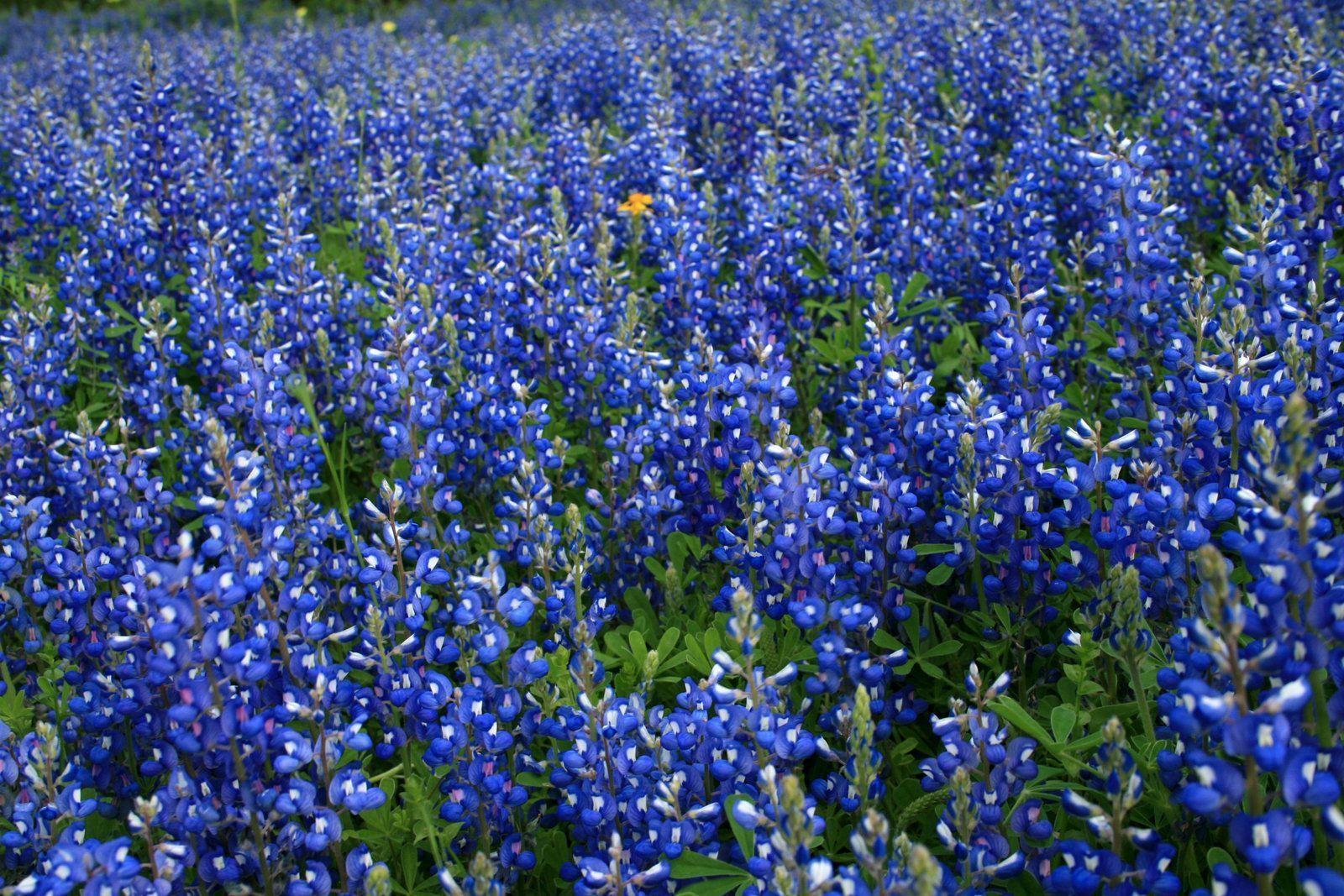 163 Types of Flowers A to Z With Pictures J Birdny Pictures of blue bonnets