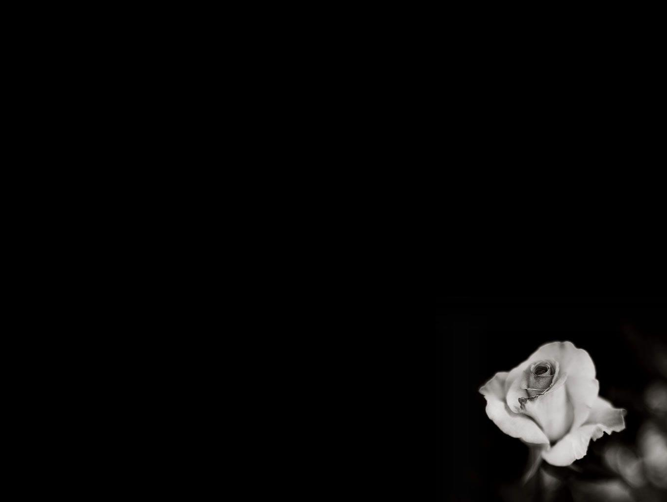 Flower Rose Black And White HD Wallpapers Flowers