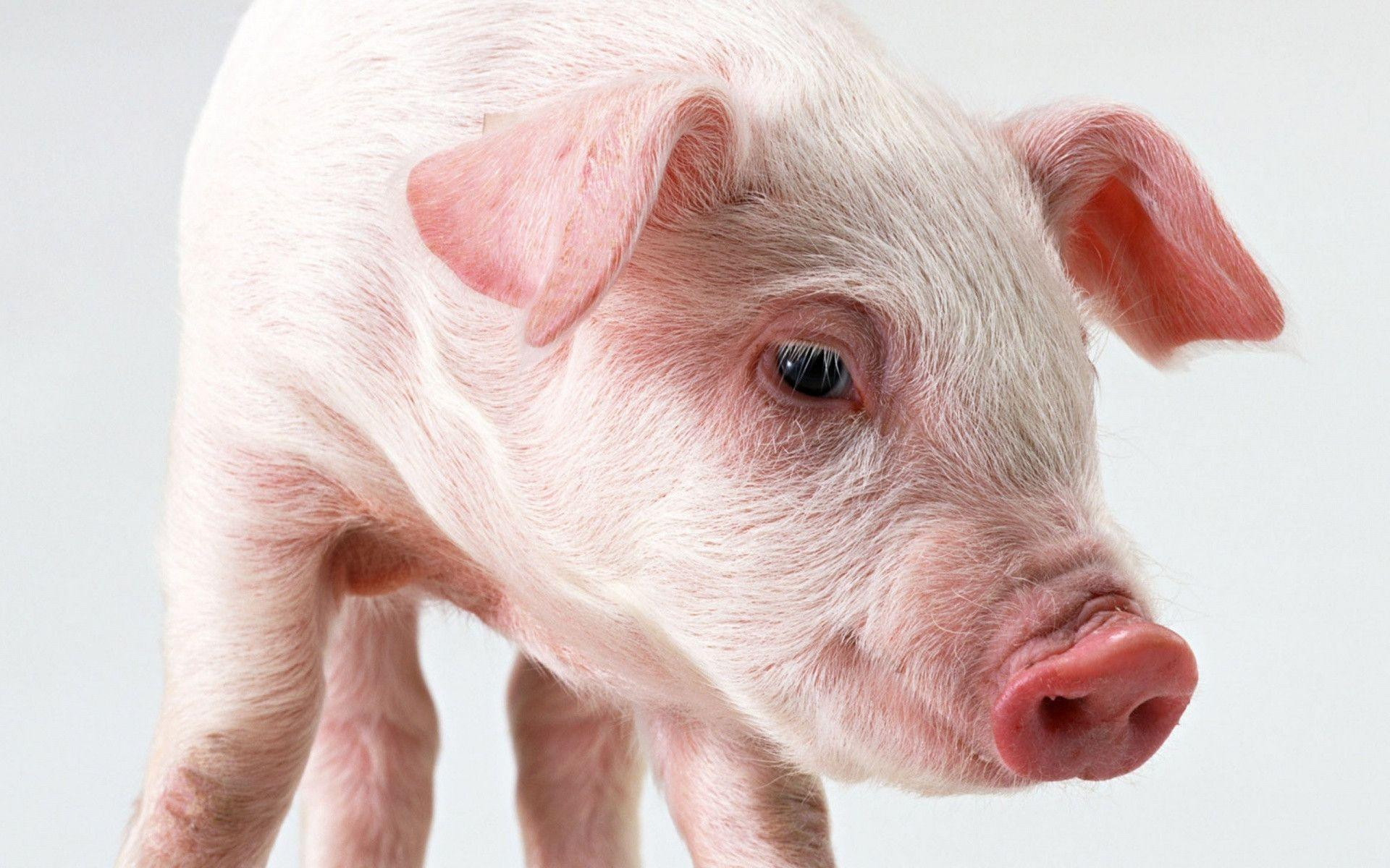 Pig Wallpapers - Full HD wallpaper search - page 3