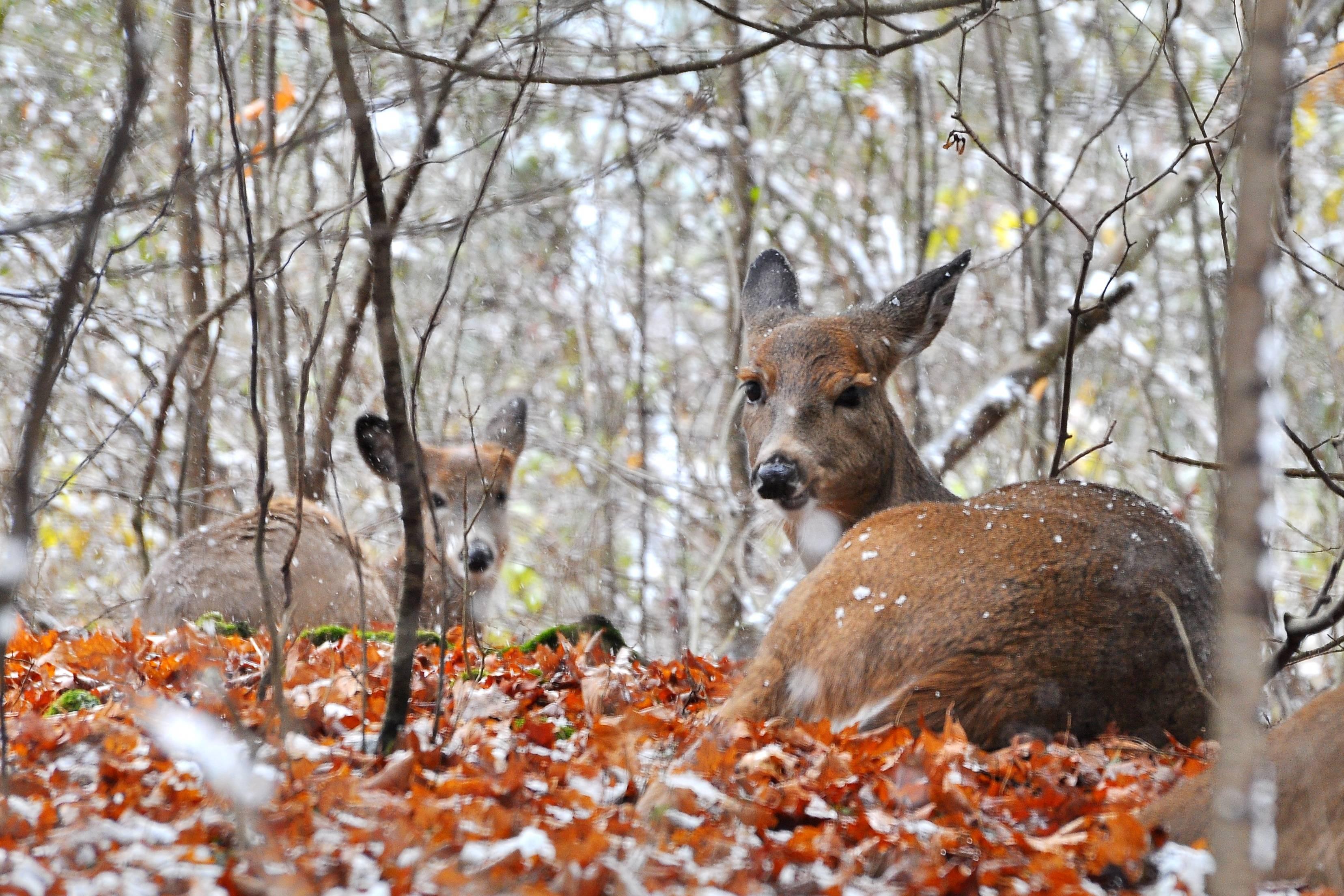 Whitetail Deer Wallpaper Border