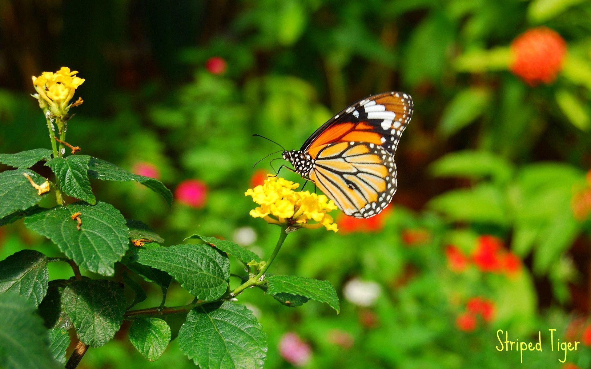 Butterfly And Flower Wallpapers