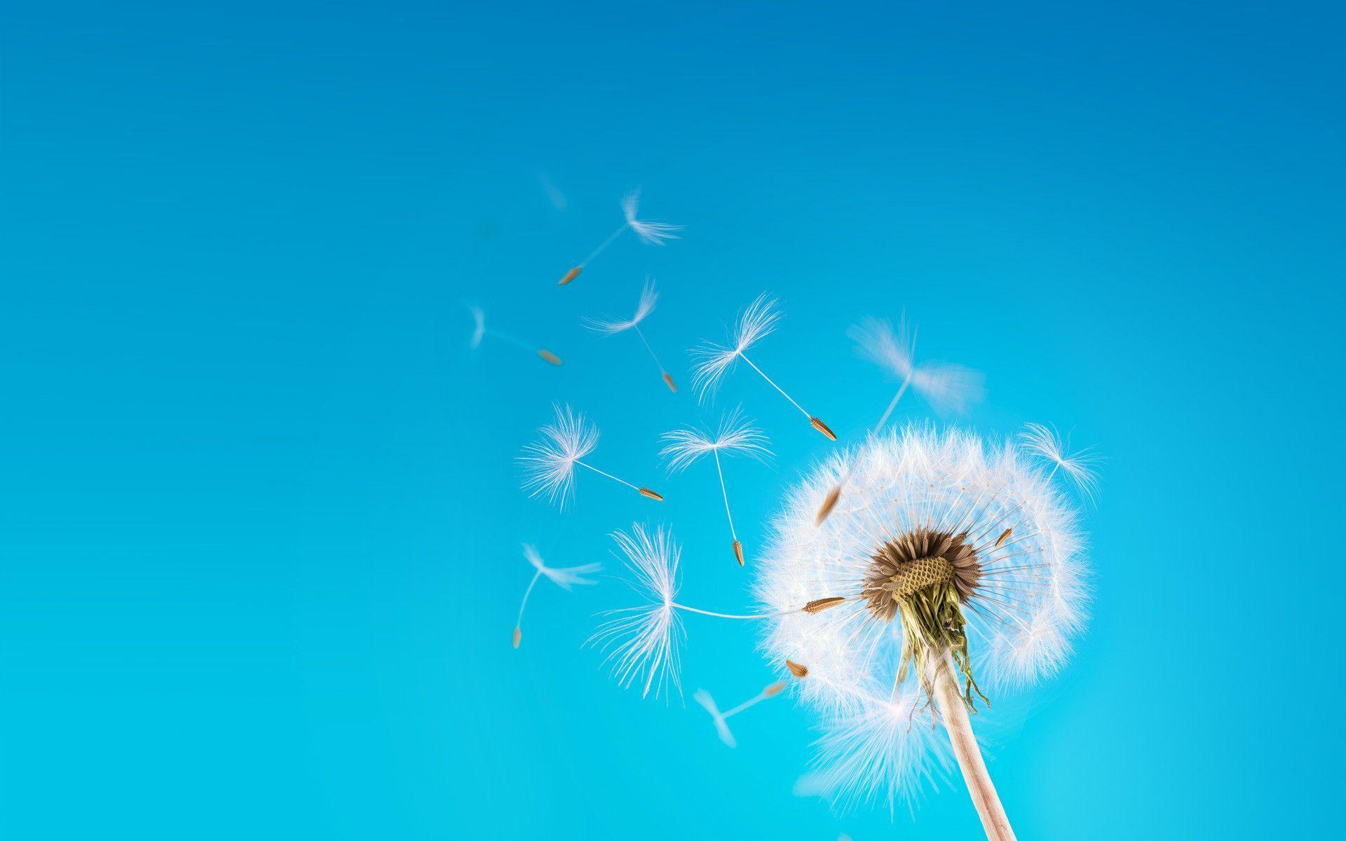 Dandelions on pastel curves wallpapers