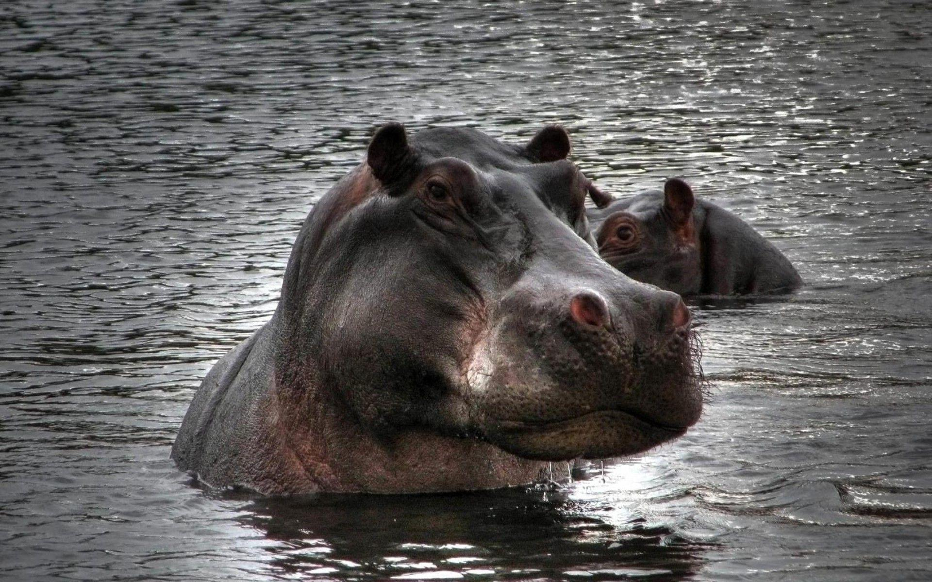 Hippopotamus Images | Sky HD Wallpaper
