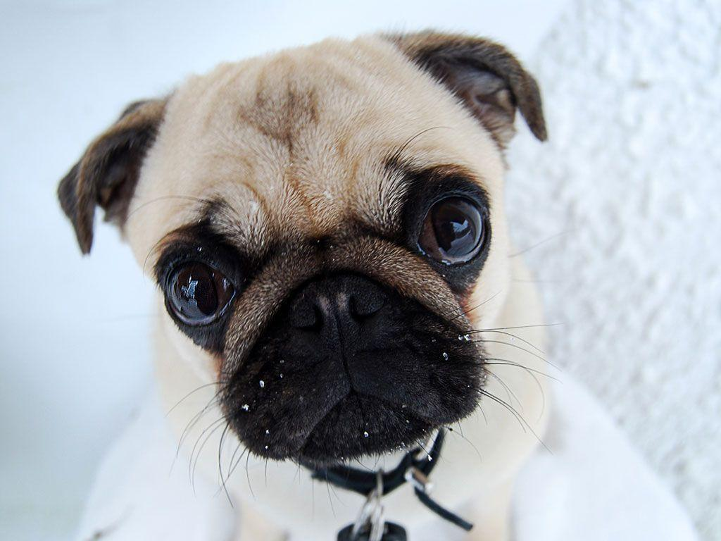 Cute Funny Backgrounds Wallpapers Cave Desktop Background: Funny Pug Wallpapers