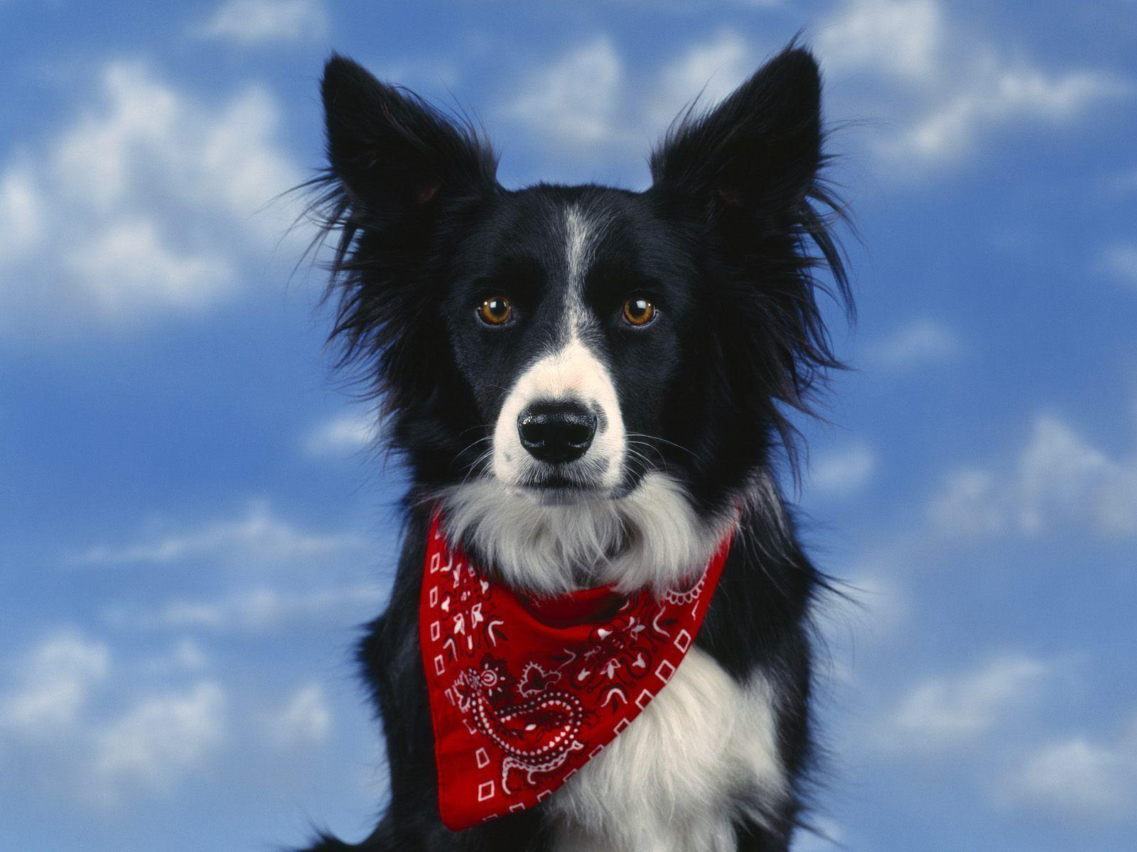 Border Collie Wallpapers  Wallpaper Cave