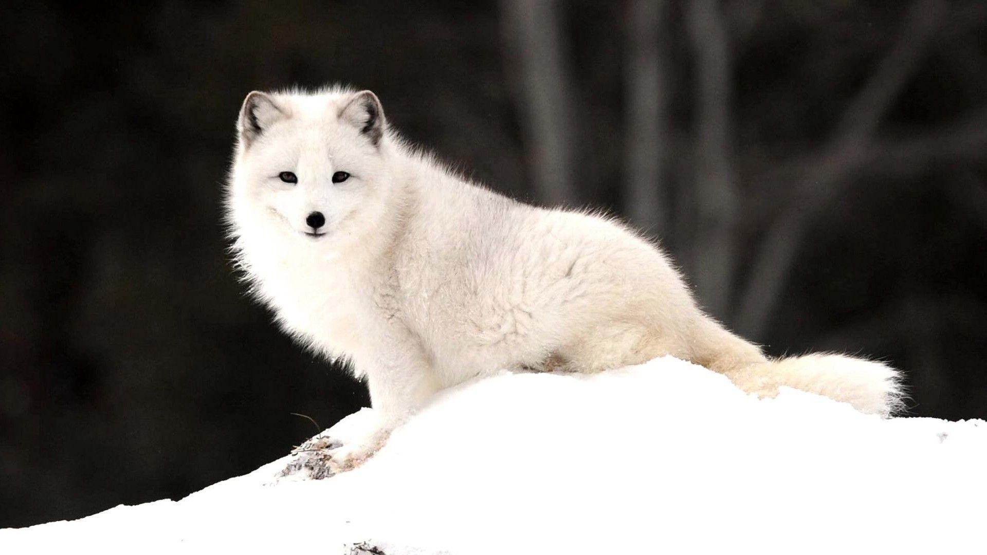 Arctic Fox Wallpapers - Wallpaper Cave - photo#45
