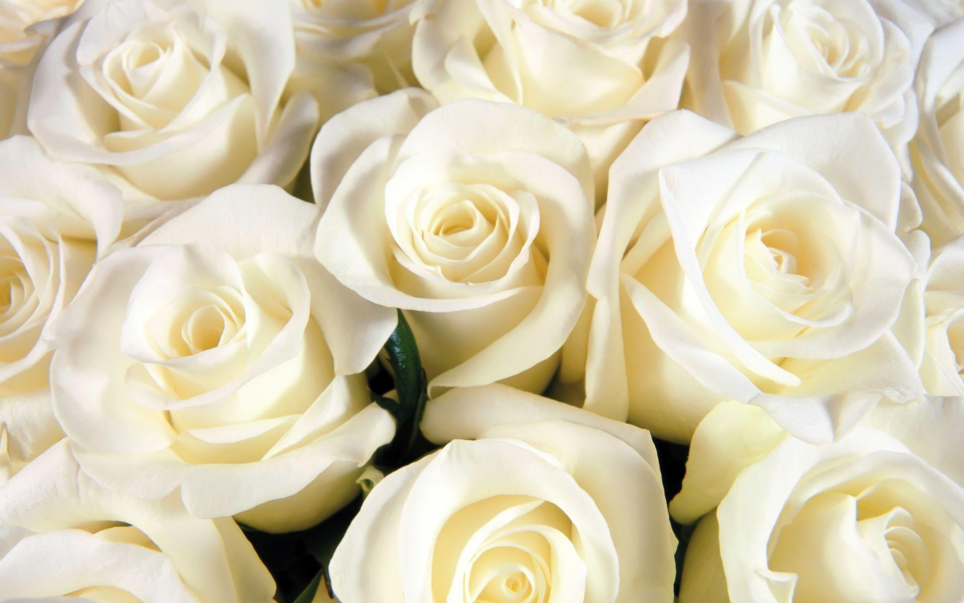 Image White Rose Cool Backgrounds, Wallpapers, HD Wallpapers