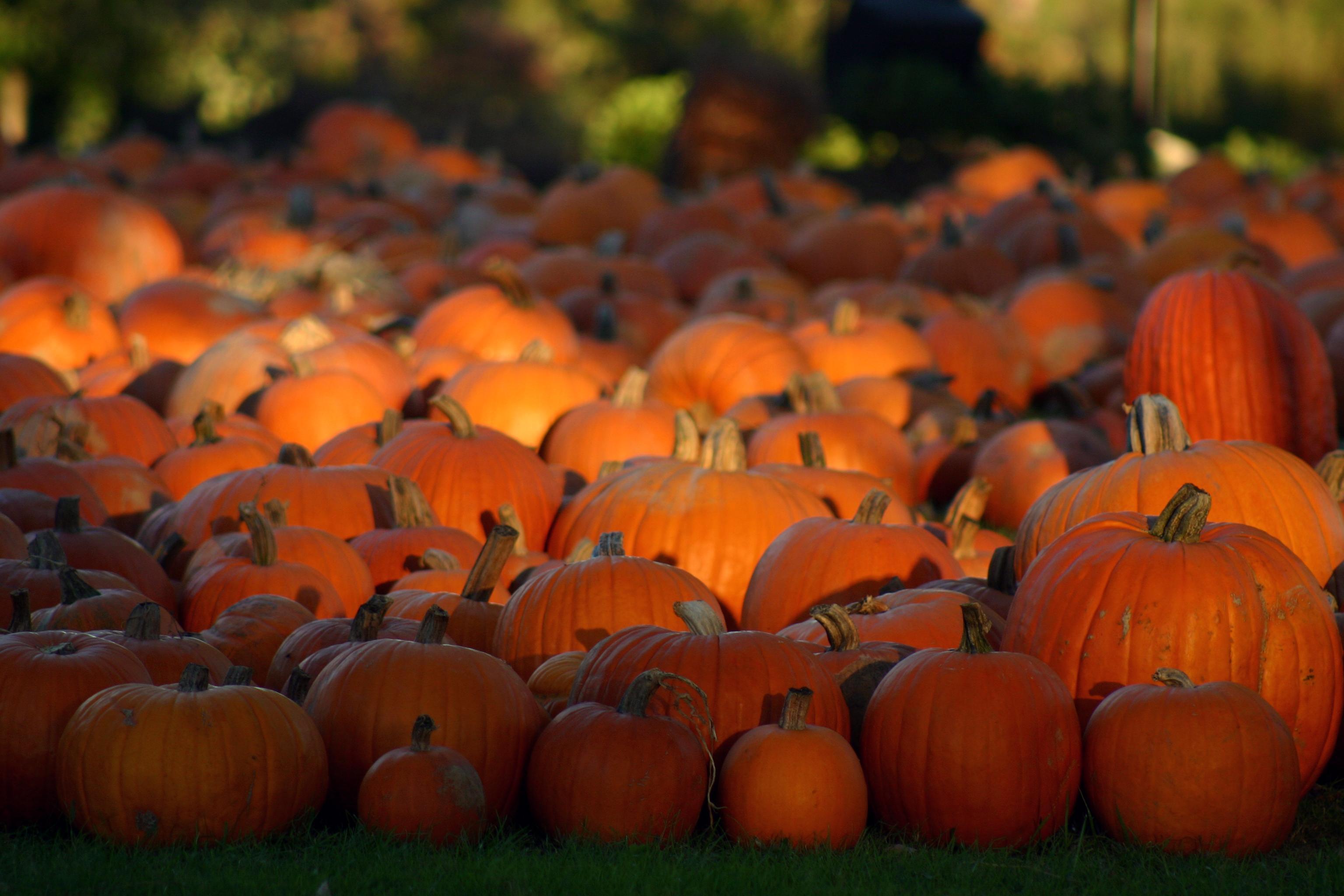 free hd pumpkin wallpaper - photo #6