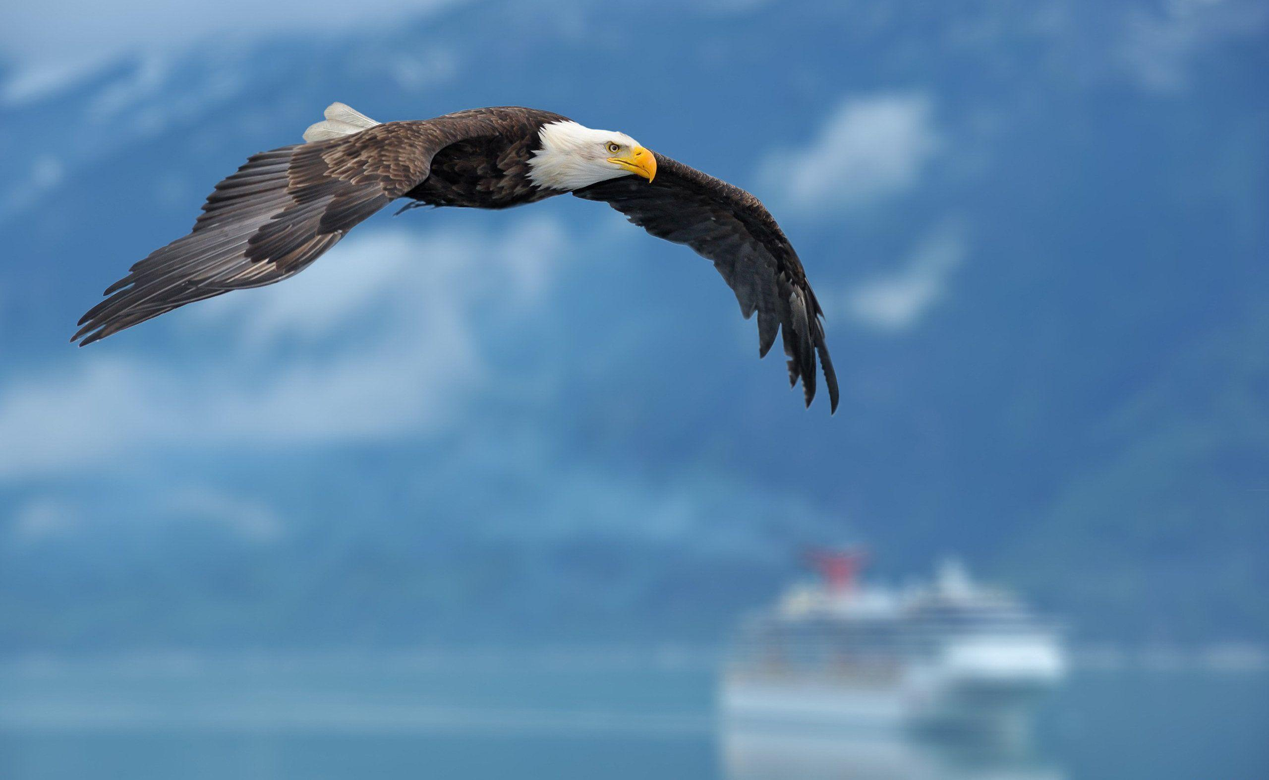Download Bald Eagle Wallpapers 5454 2560x1573 px High Resolution