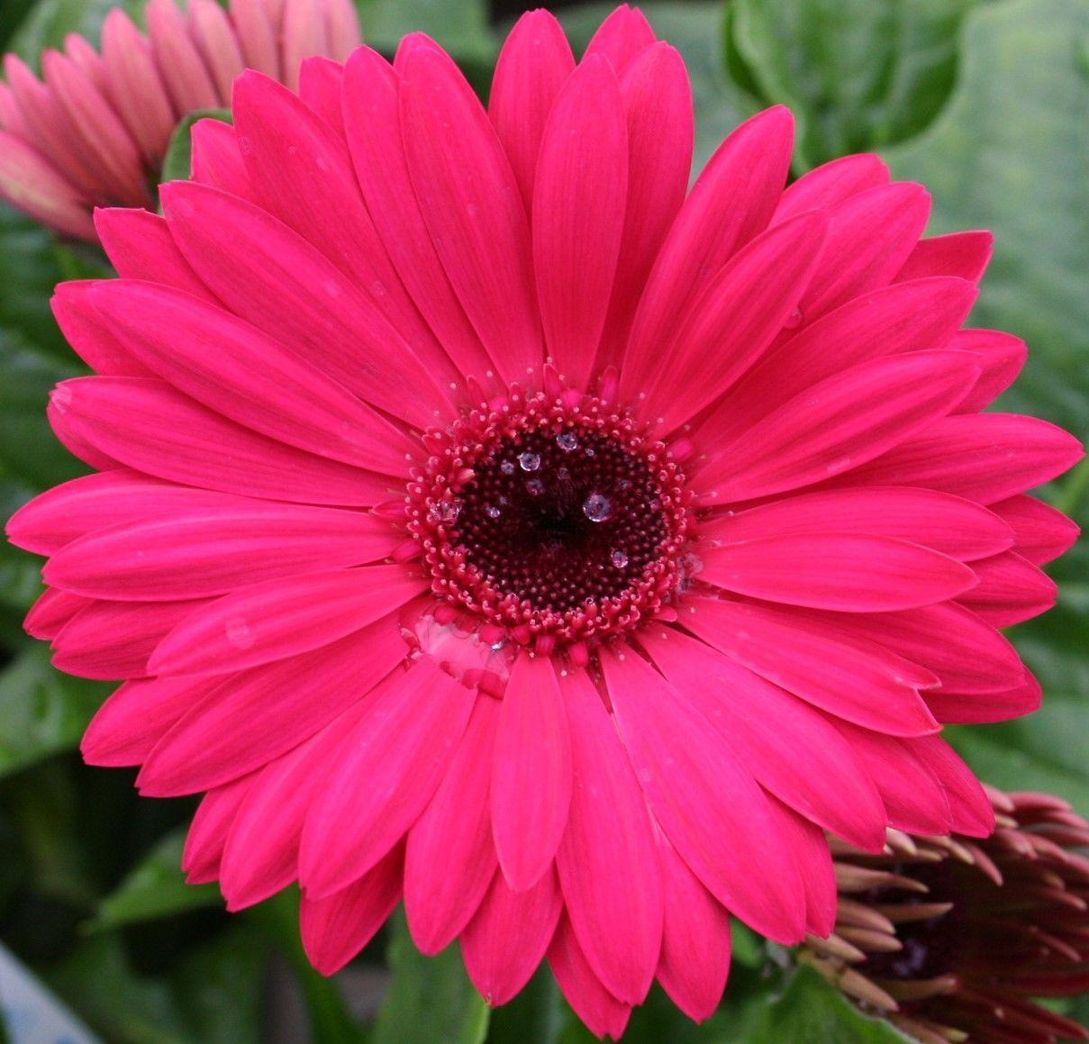 Pink Flowers Wallpaper: Pink Daisy Wallpapers