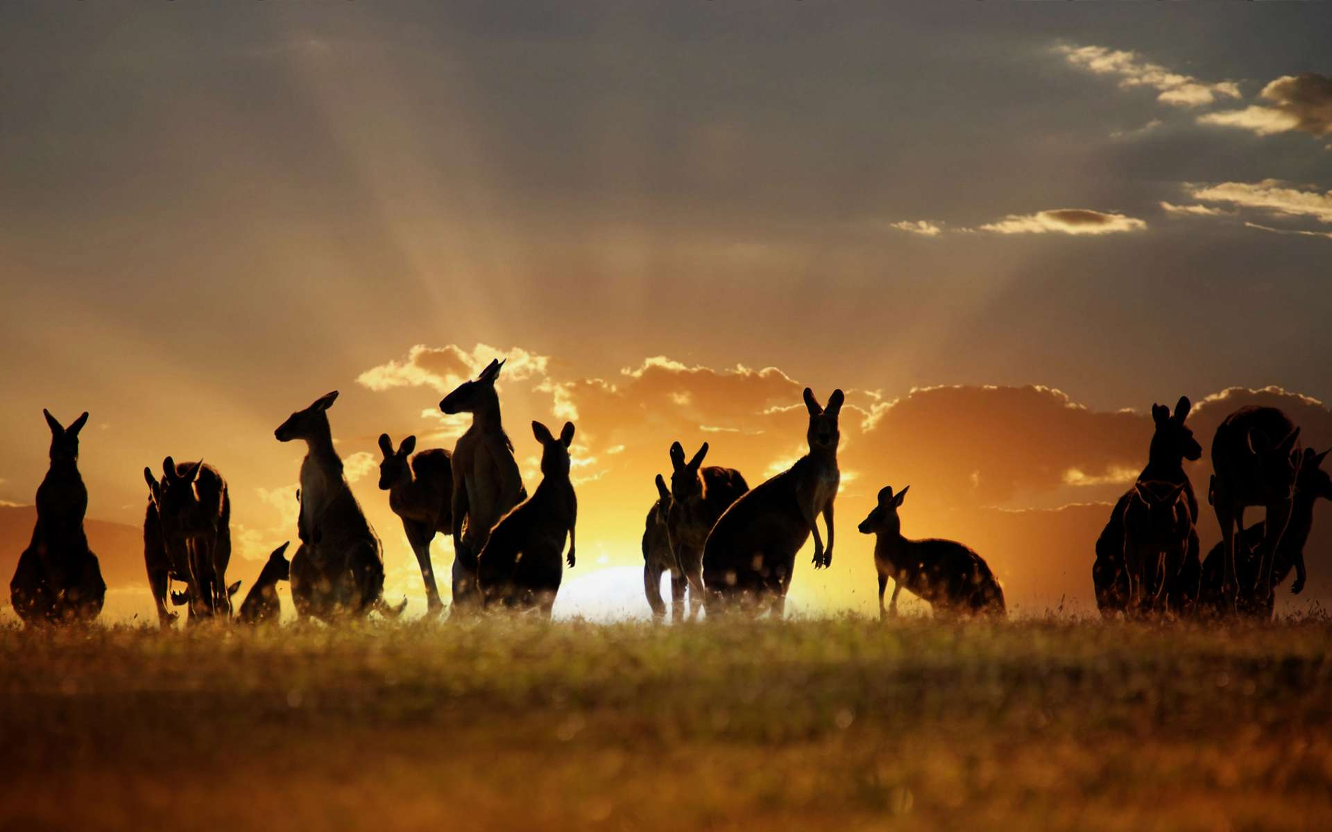 Download Kangaroo Wallpaper 8977 1920x1200 px High Resolution ...