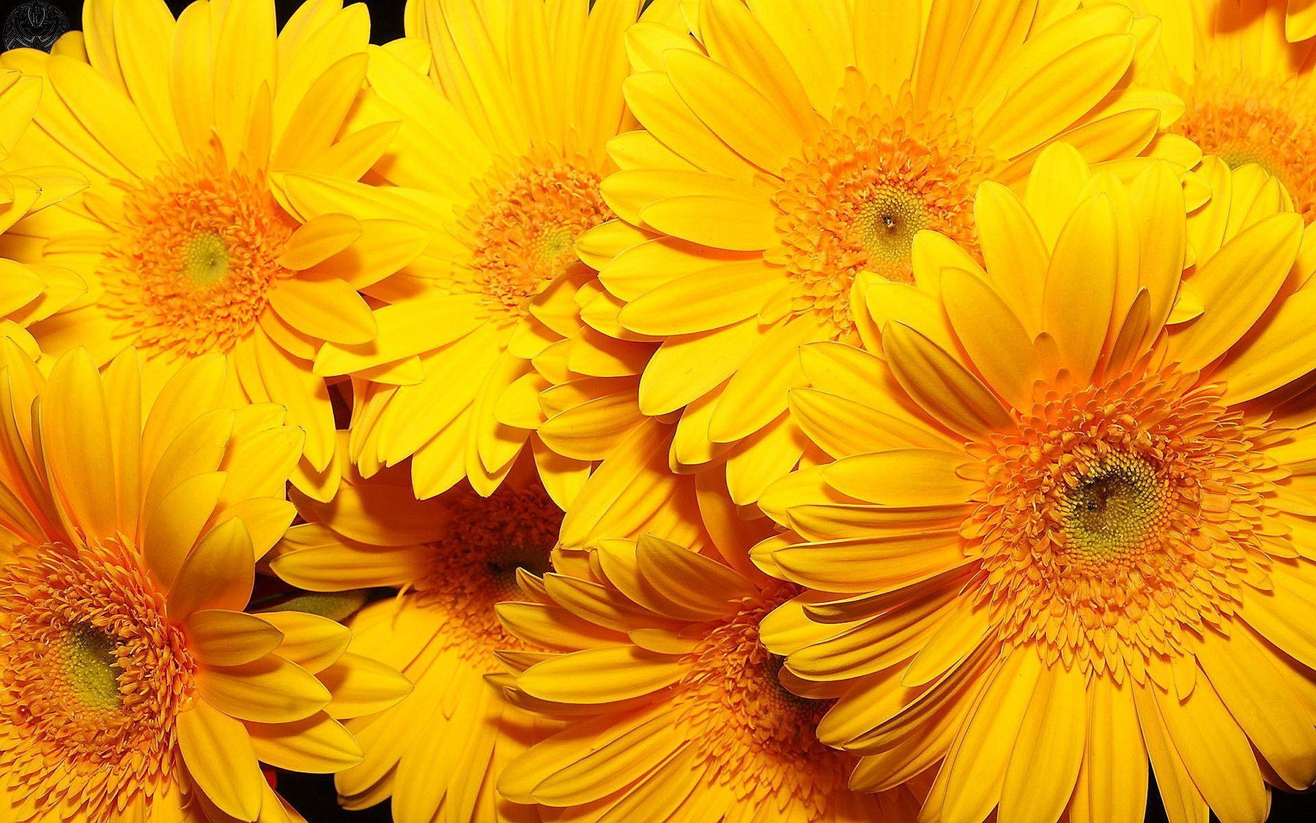 yellow flower wallpapers wallpaper cave yellow flower wallpapers wallpaper cave