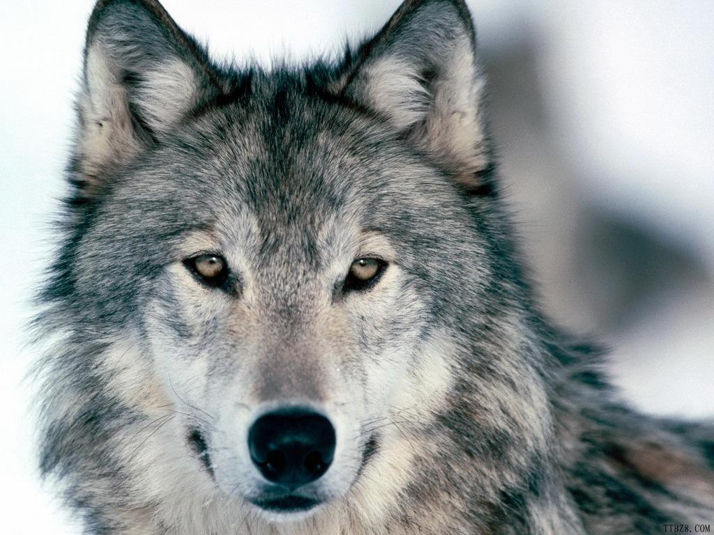 Must see Gray Wolf Wallpaper Cool - ngxE7wy  You Should Have_20169.jpg