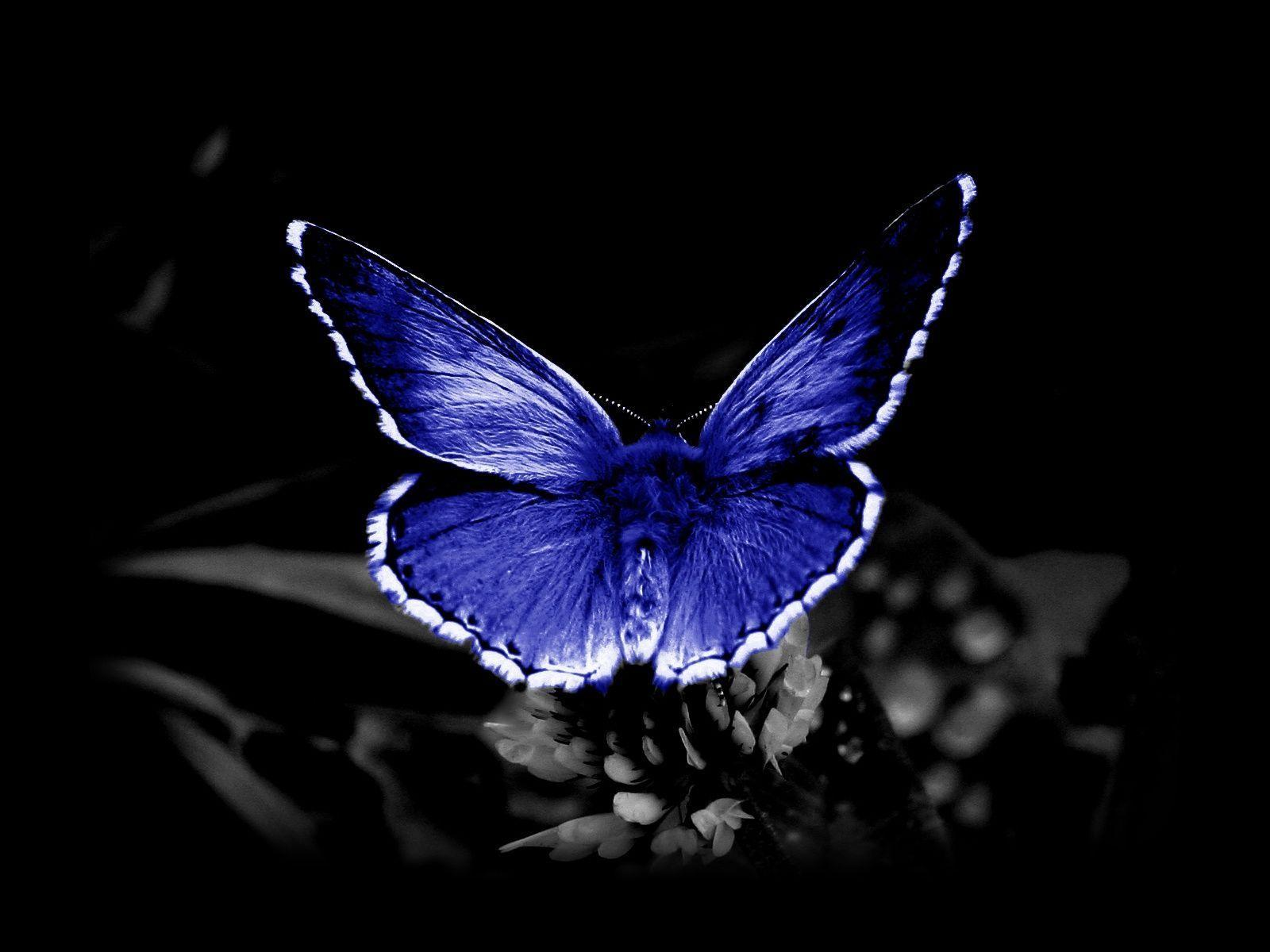 butterfly desktop wallpapers free d