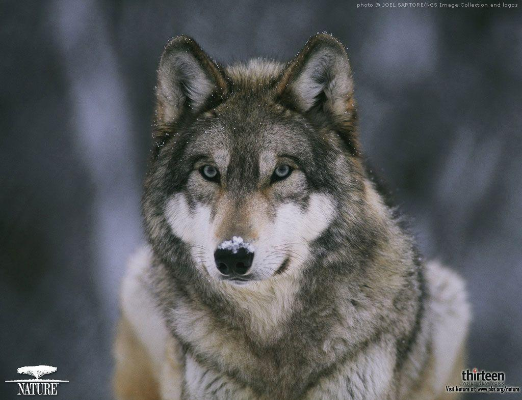 Animals For Cool Wolf Wallpaper Desktop