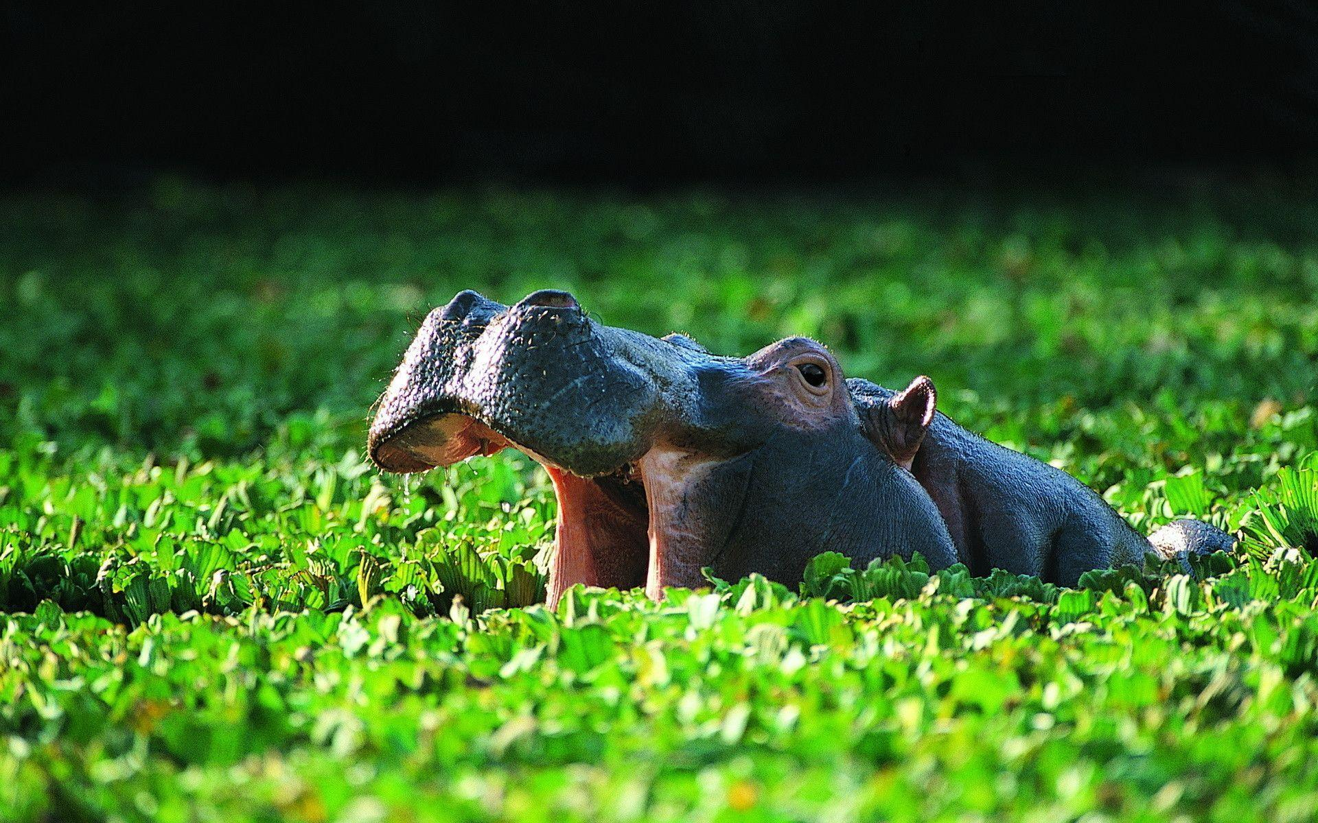 animal hippo wallpaper 1600x1200 - photo #23