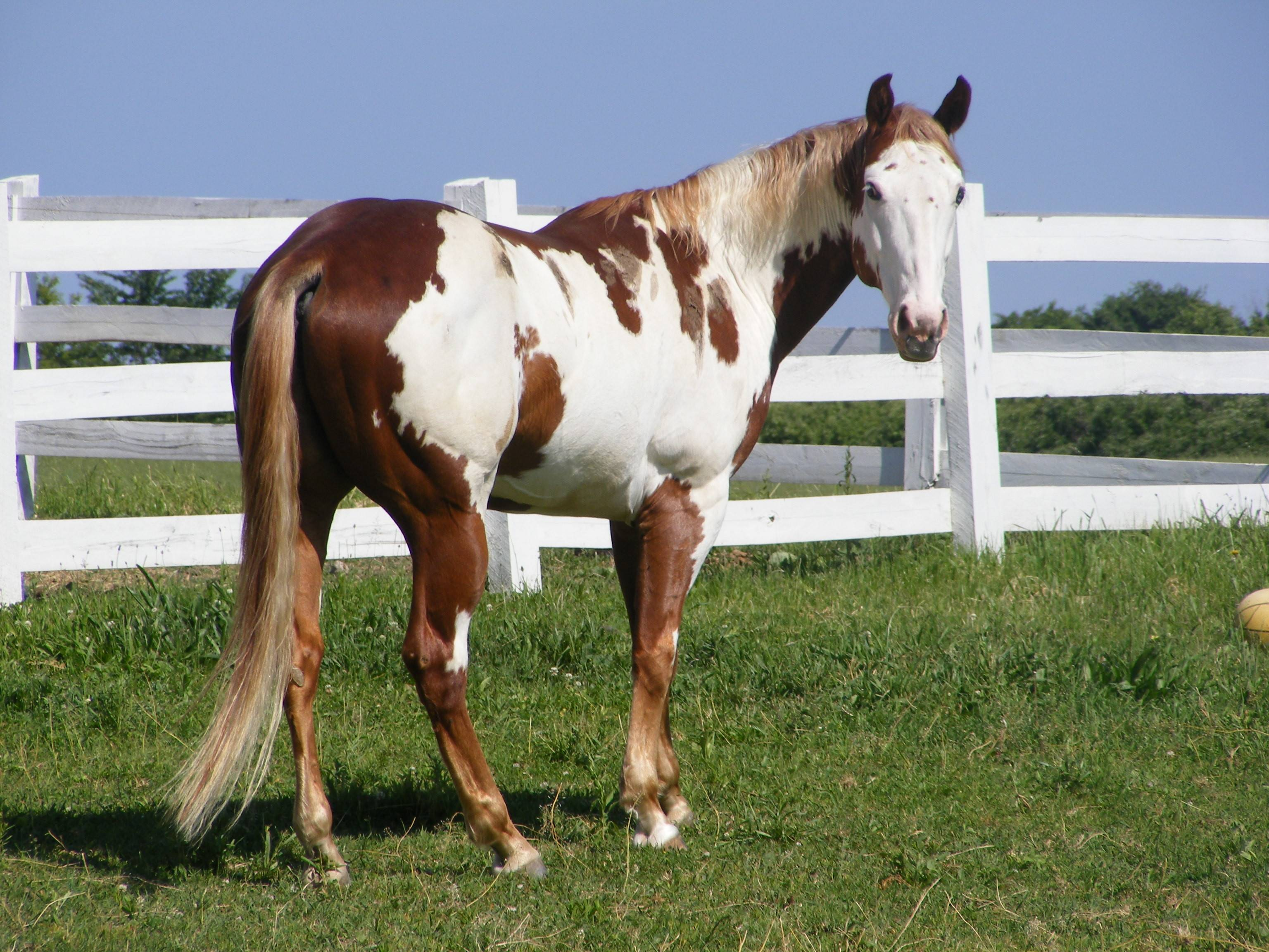 Paint Horse HD Wallpaper Images On ScreenCrotCom