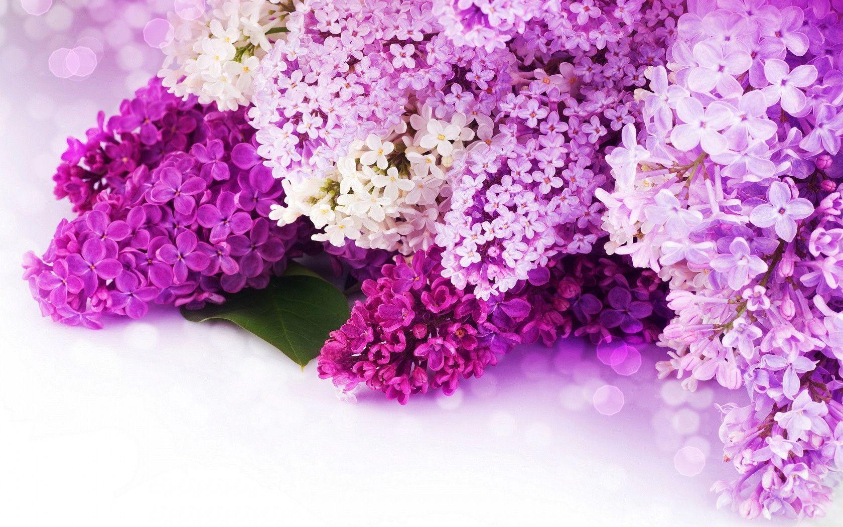 Purple Flowers Wallpaper 1680x1050 630 Full Hd Desktop