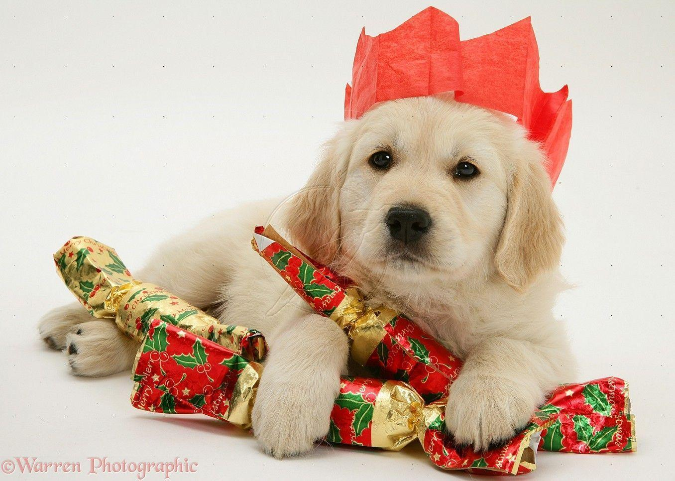 christmas puppy wallpaper - photo #15
