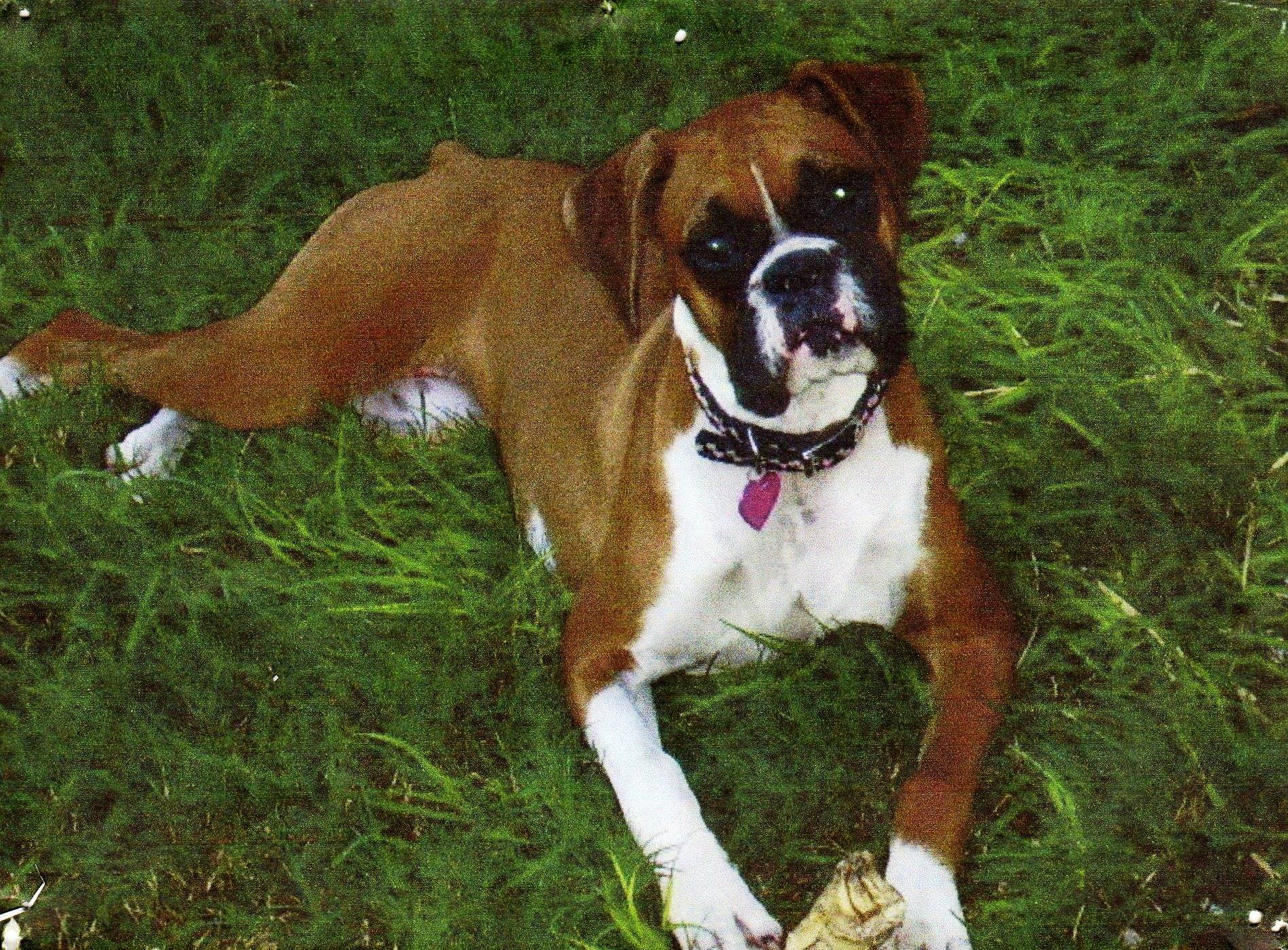 Boxer Dog Wallpapers, Fine Pics of Boxer Dog, Colelction ID: XK63