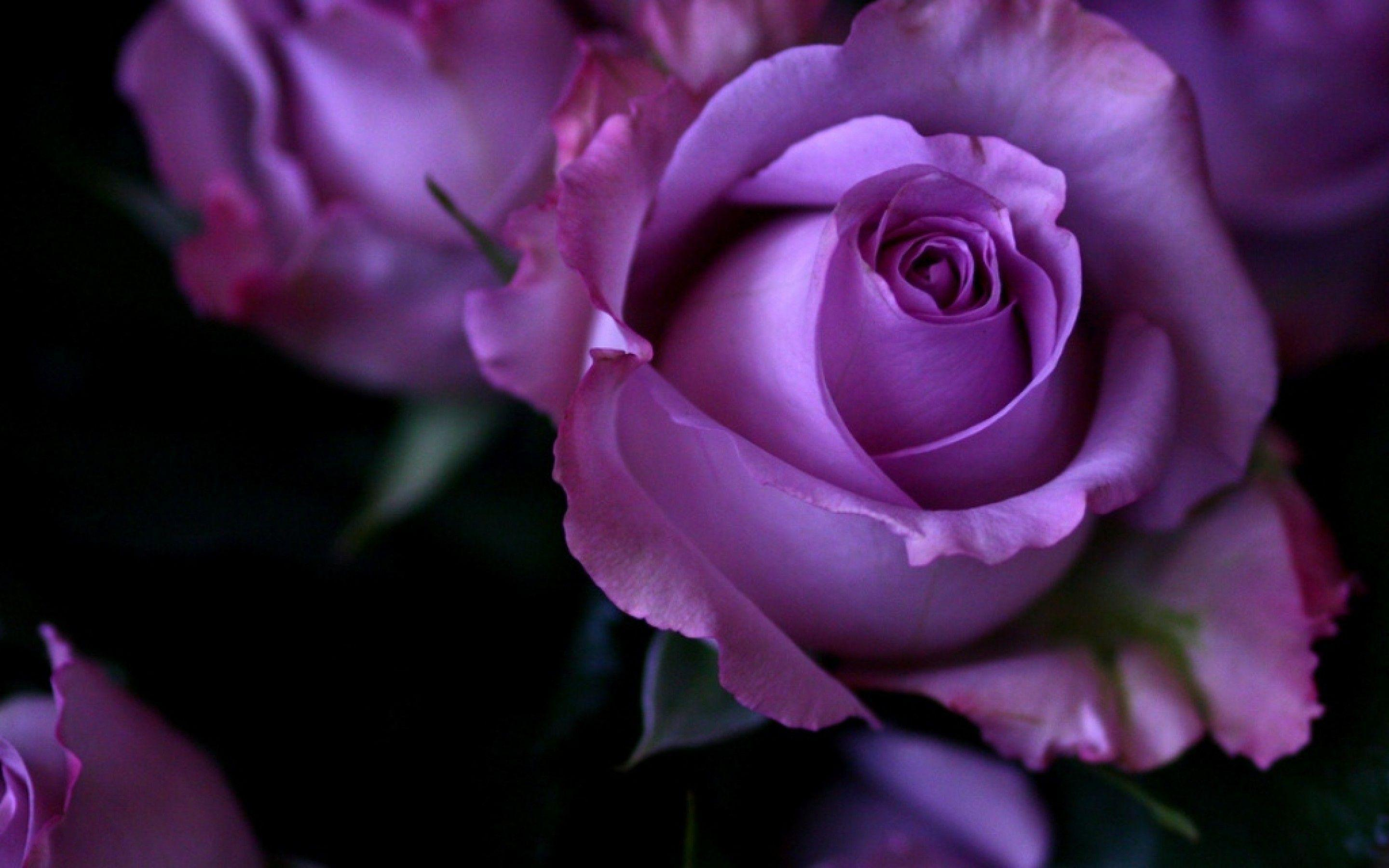 Purple Roses Wallpapers
