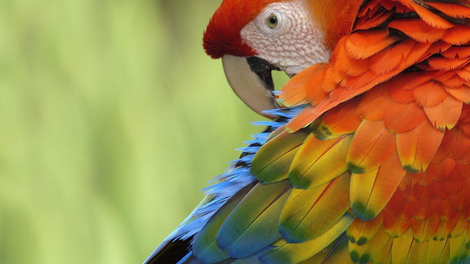 parrot wallpapers wallpaper cave