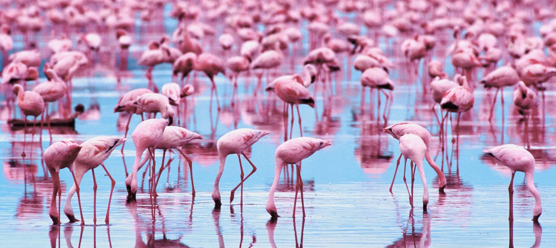 Pink Flamingo Wallpapers Download at