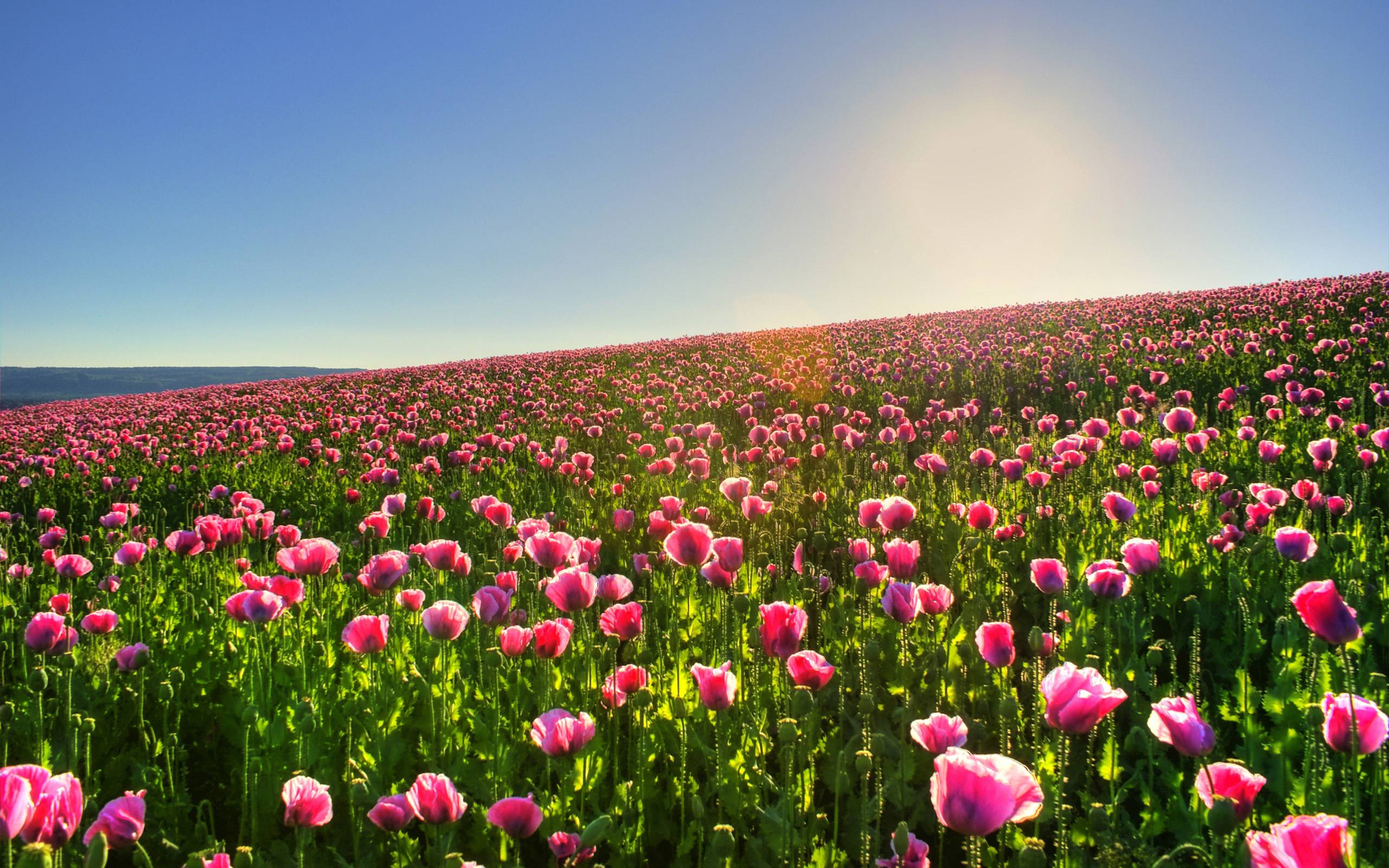 flowers easy on the eye images flowers hd hits picture pink - Flower Garden Wallpaper