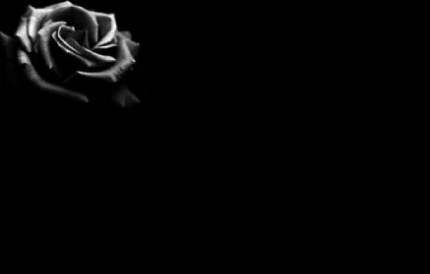 White rose flower black background free stock photos download