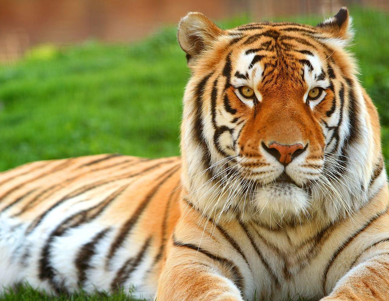 Tiger Wallpaper Desktop Background Animals Wallpapers