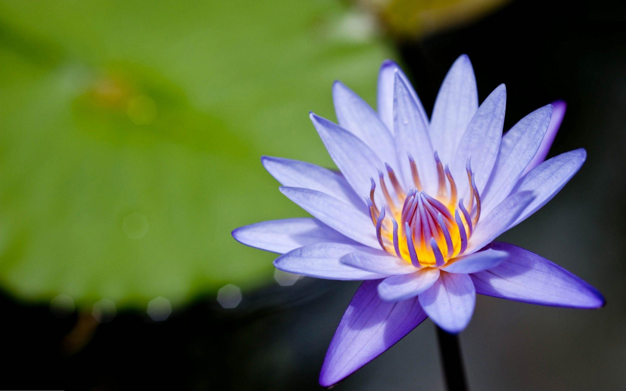 Amazing Purple Lotus Flower Desktop Backgrounds Download Free