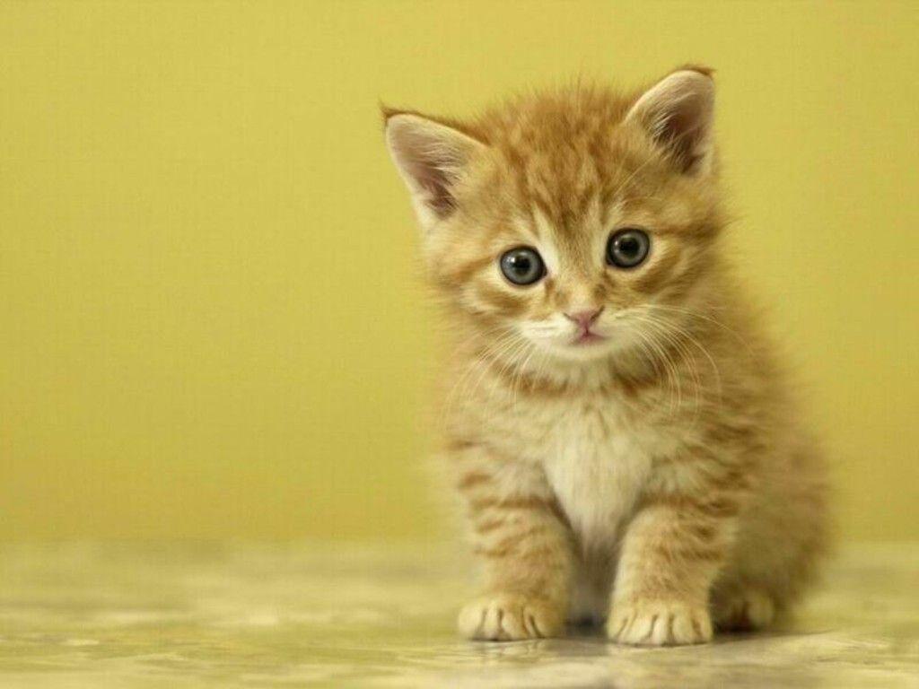 Cute White Kittens Wallpapers Hd | Cats Wallpaper HD