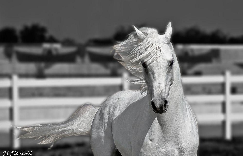 Animals For > Horses Wallpapers Black And White