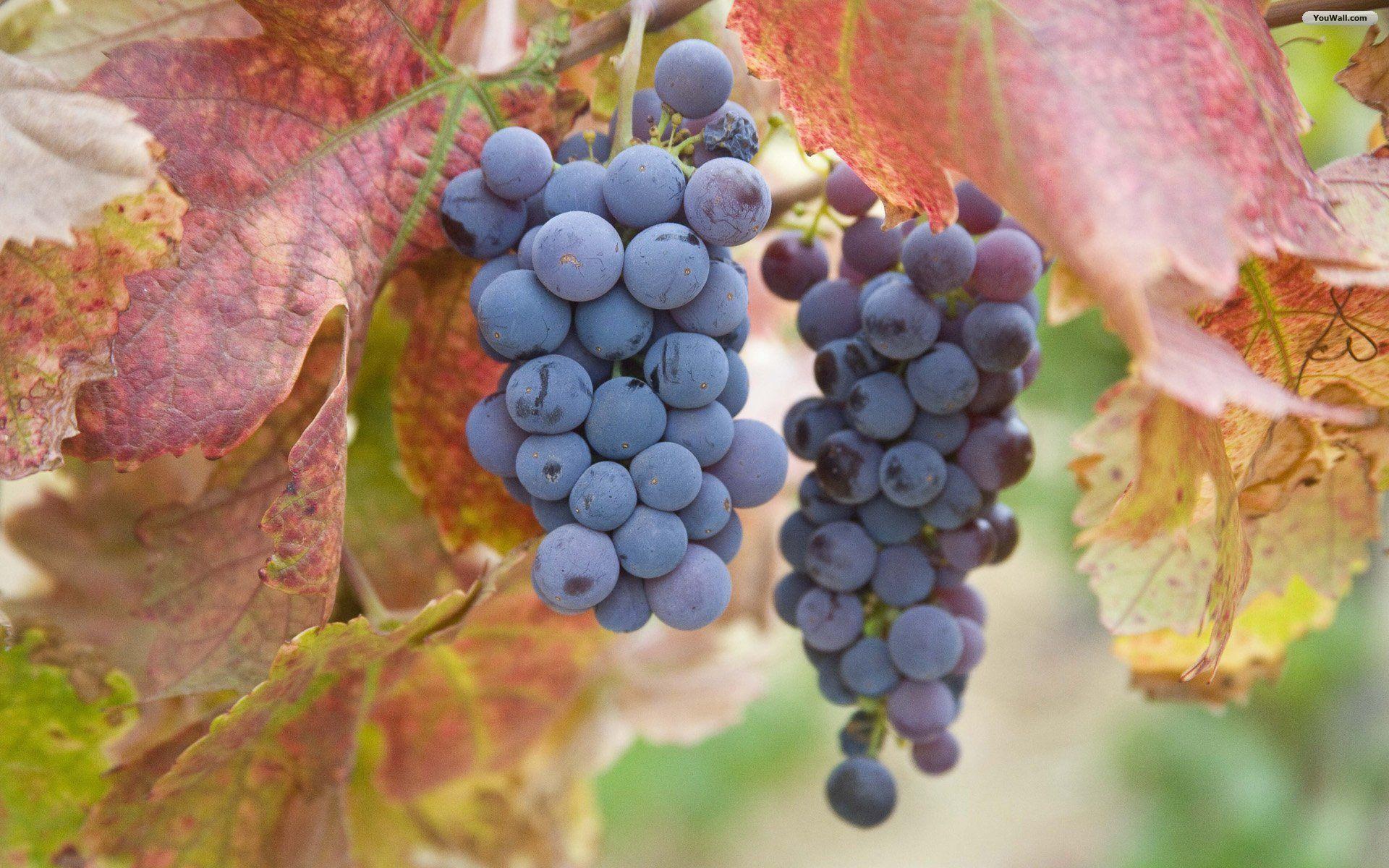 Девушка с гроздью винограда фото