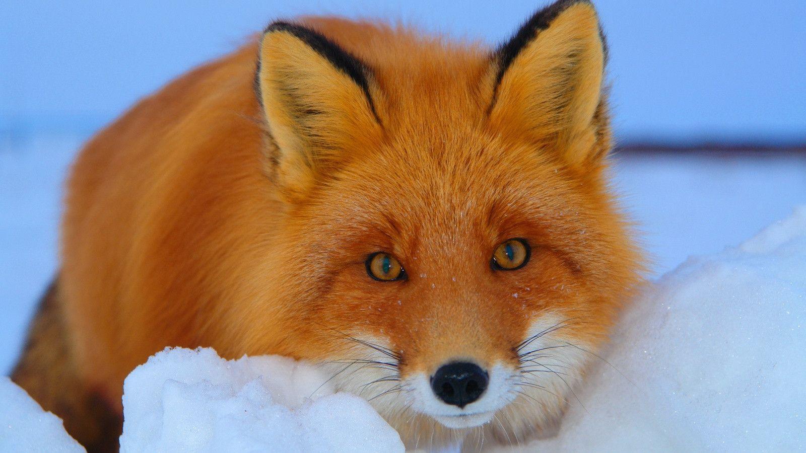 1600x900 Red fox Wallpaper
