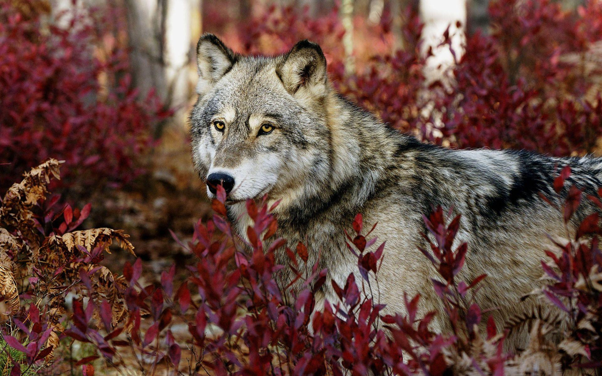 Wolf HD Wallpapers | Wolves Desktop Wallpapers For Android | Cool ...