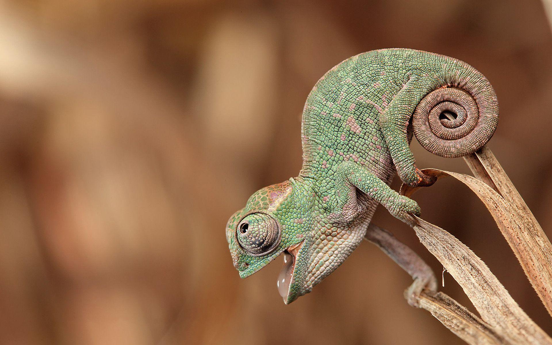 chameleon wallpaper 9661 - photo #7