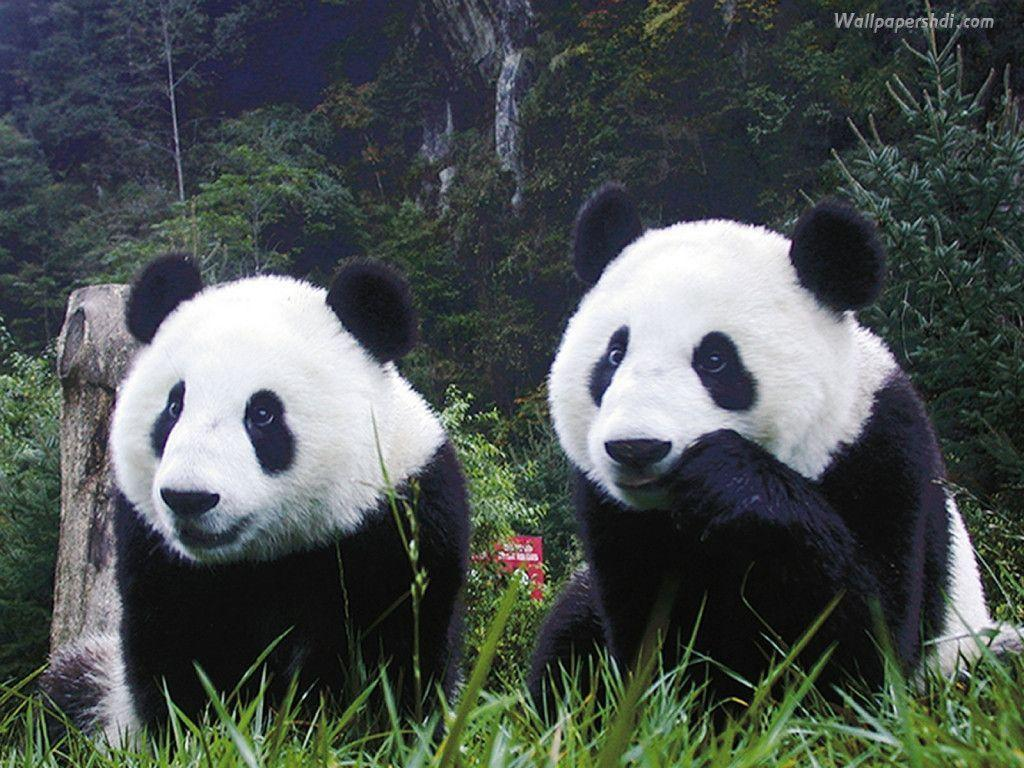 panda bear wallpaper | Zone Wallpaper Backgrounds