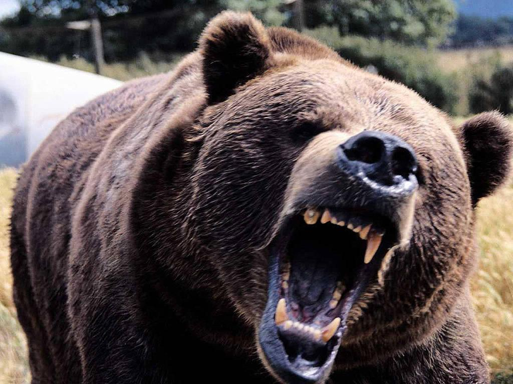 Wallpapers For > Angry Grizzly Bear Wallpaper