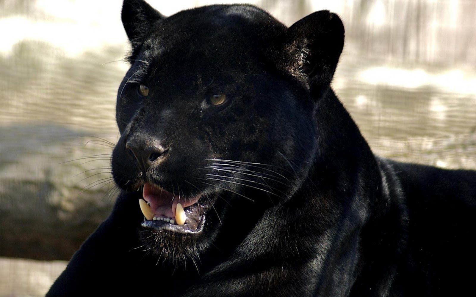 black leopard backgrounds - photo #23