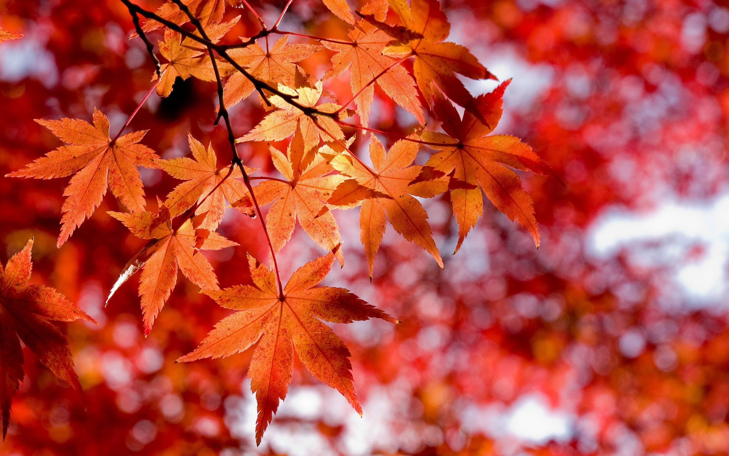 Red leaves wallpapers wallpaper cave for Desktop autunno