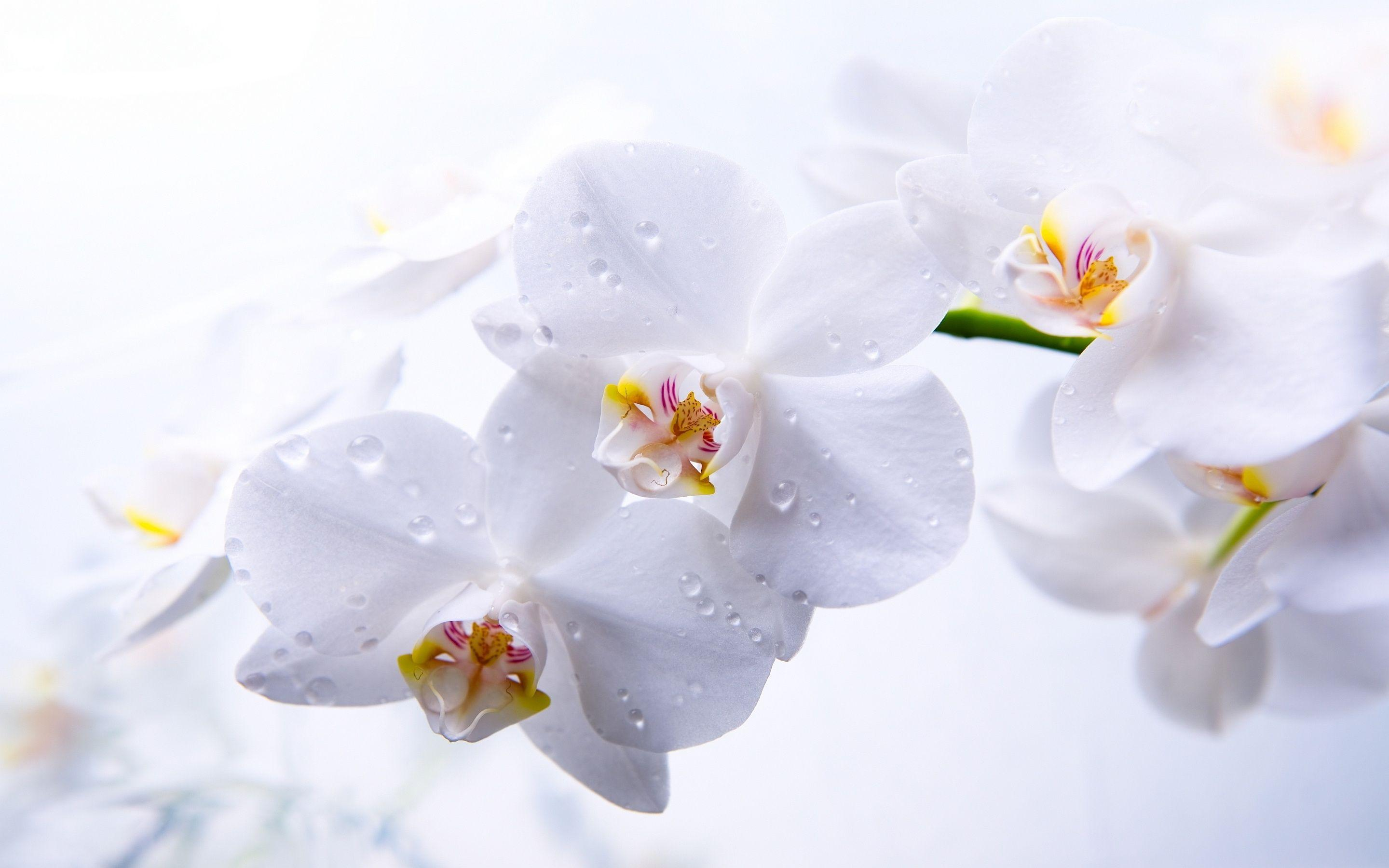 White Orchid Wallpapers - Wallpaper Cave
