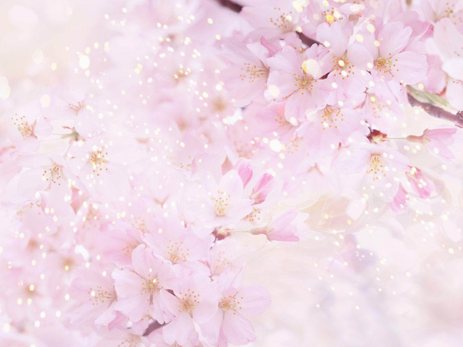 Anime Cherry Blossom Wallpaper Images & Pictures - Becuo