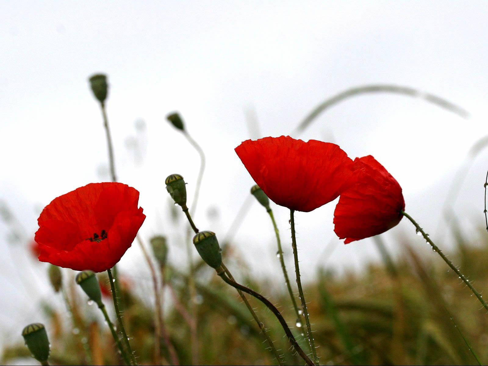 download wallpaper poppies red - photo #19