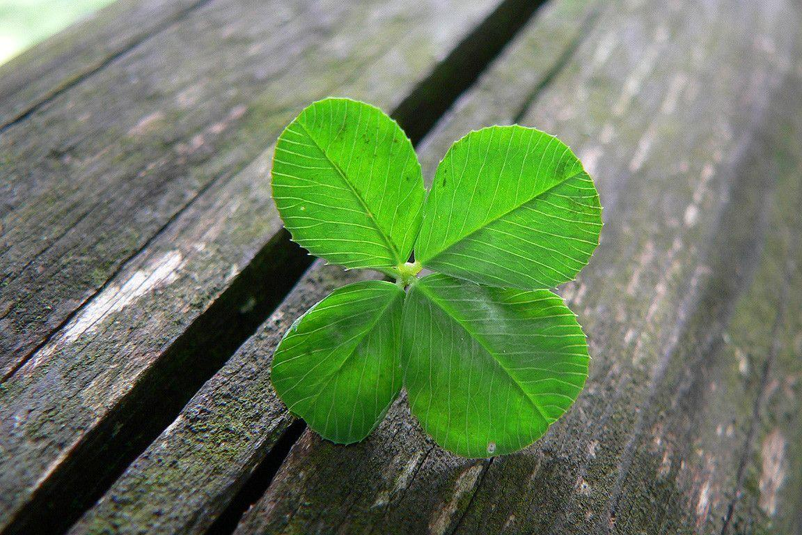 Wallpapers For > Four Leaf Clover Wallpaper Backgrounds