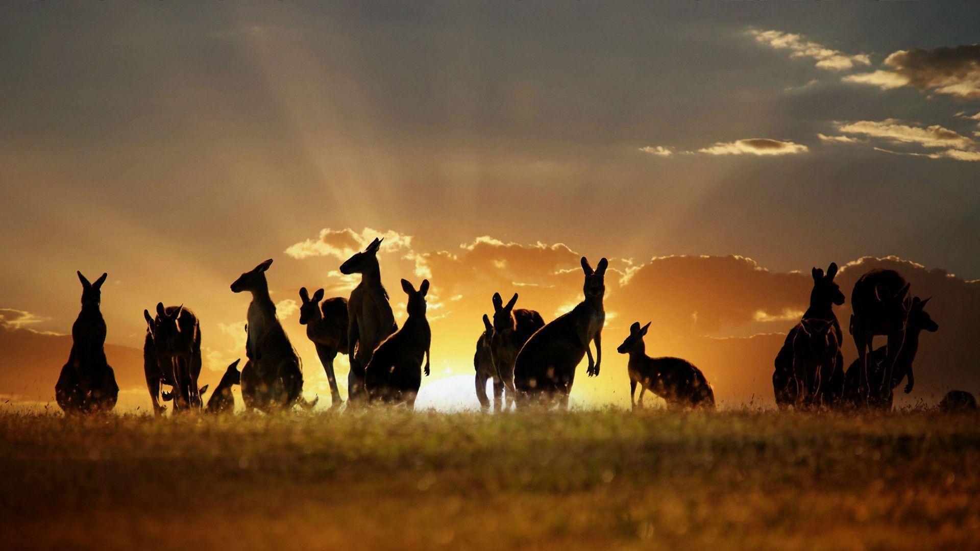 AmazingPict.com | Kangaroo Amazing Wallpaper