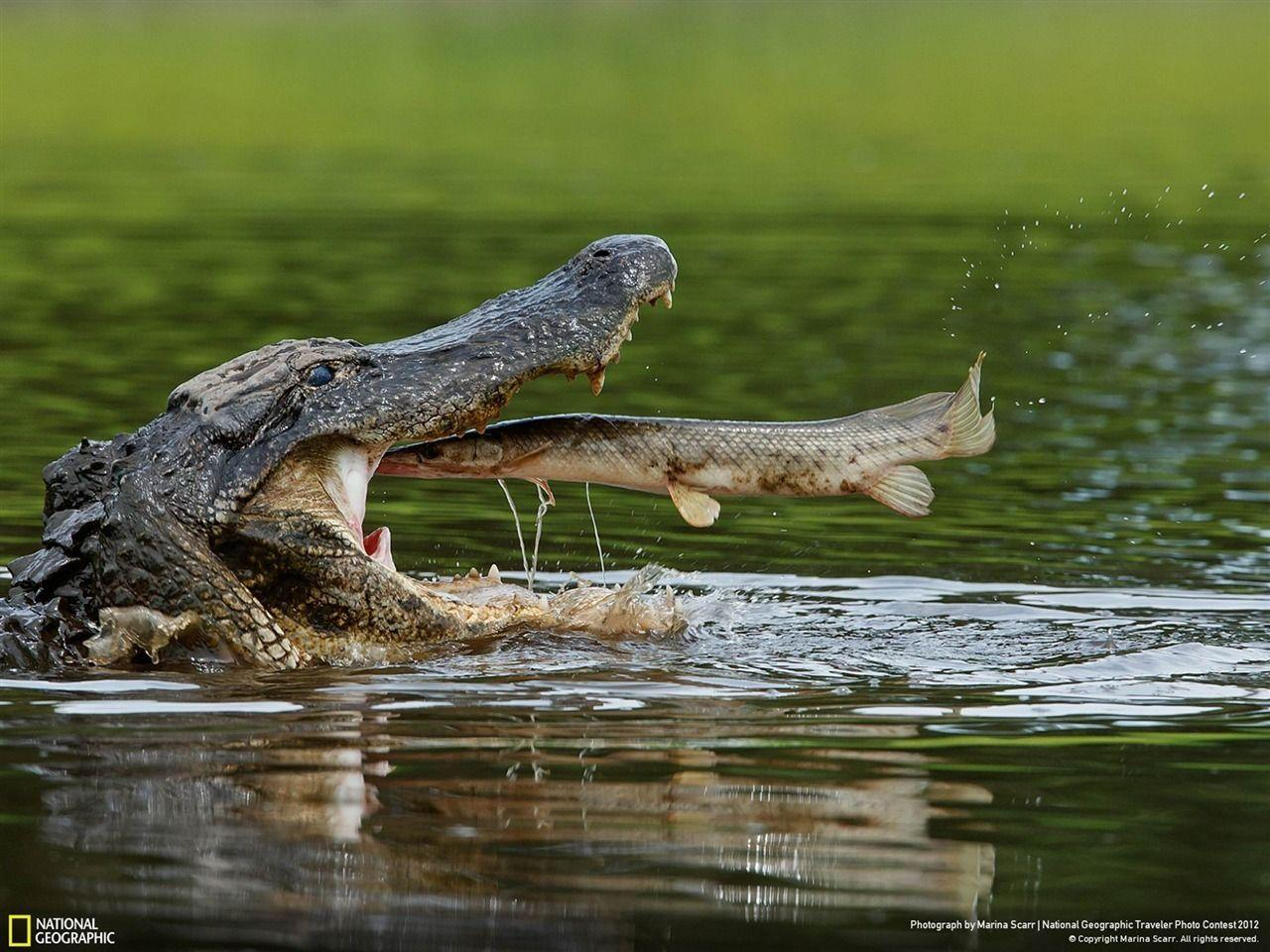 American Alligator-National Geographic Wallpaper - 1280x960 ...