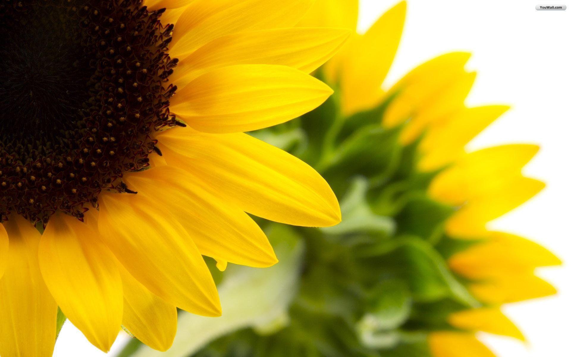 Sunflower Wallpapers Desktop - Wallpaper Cave