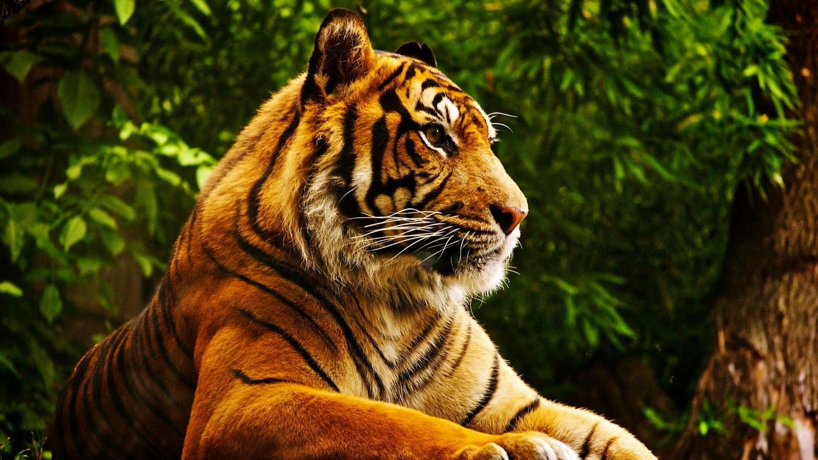 Wallpapers For > Cool Tiger Wallpapers Hd