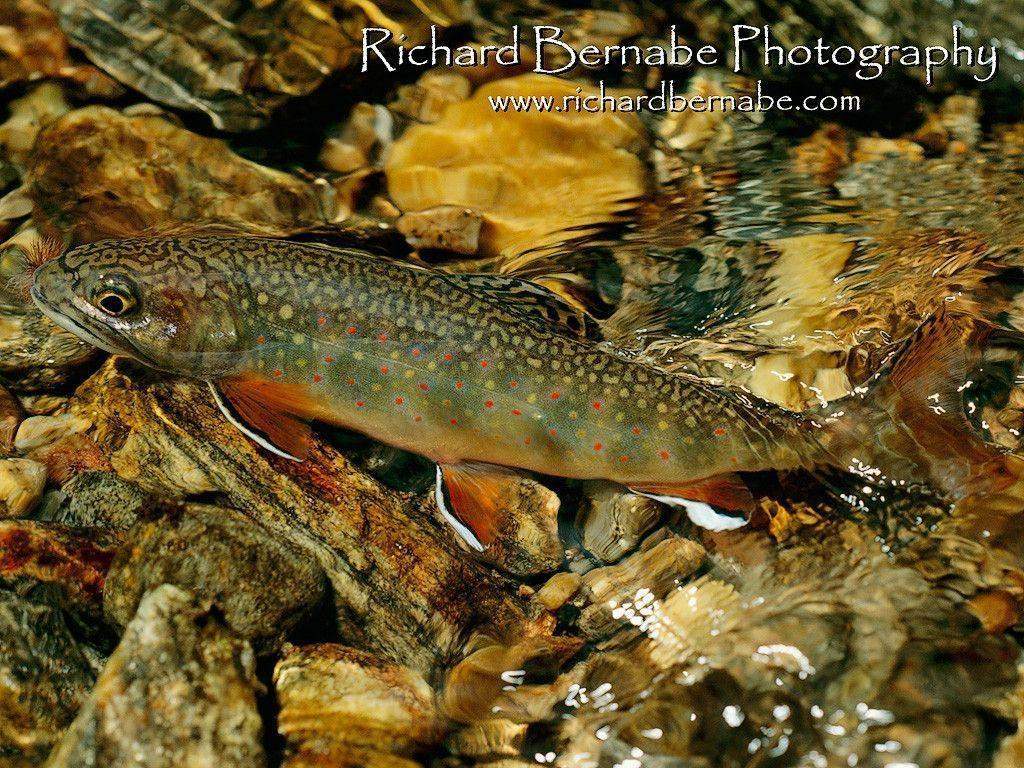 trout wallpapers wallpaper cave